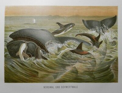 Nordwal Schwertwal ORCA Schwertwale (Orcinus orca) Lithographie  v.1891