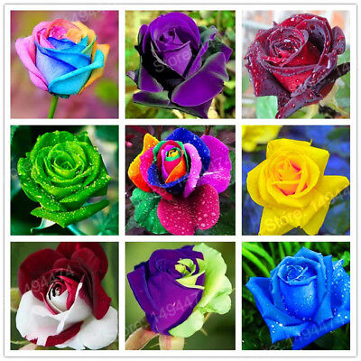 25x Rose Seeds Rainbow Rare Multi Colours Garden Plant Flower Growing Tool