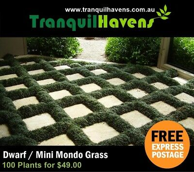 BEST PRICE ON EBAY - 100 Mini (Dwarf) Mondo Grass  FREE EXPRESS POSTAGE