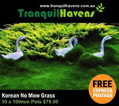 10 x 100mm Pots Zoysia Tenuifolia (No Mow Grass) Including Free Express Postage