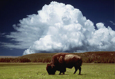 American Bison In Big Sky Country Photo