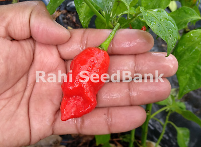Carboruga Red Chilli - The Plant Produces Extremely Hot Large Fruits - Oz Grown!