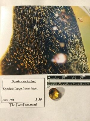 Dominican Amber, Large Flower Bract
