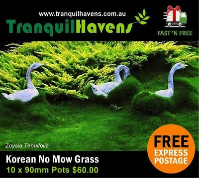 Zoysia Tenuifolia (No Mow Grass) Free Post 10 x 90mm Pots Fluffy Petting Grass