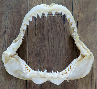 """12.25"""" Nature Modern Great white shark jaws taxidermy!"""