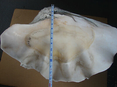 "Giant South Pacific Tridacna Gigas Clam Shell 23.5"" Estate Find Antique 63.6 lbs"