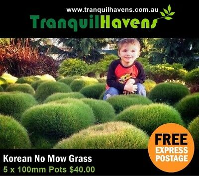 Bump Grass (No Mow Grass) Zoysia Tenuifolia - Free Post 5 x 100mm Fluffy Pots