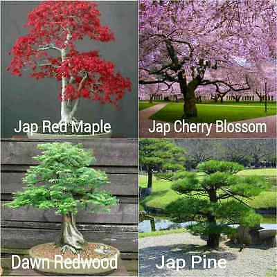 40 Popular Japanese Tree Seeds - CHERRY BLOSSOM PINE RED MAPLE DAWN REDWOOD