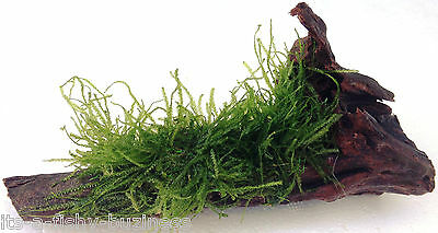 Stringy Moss on 8cm Bogwood Tropical or Cold Aquatic Aquarium Plant live (UK)