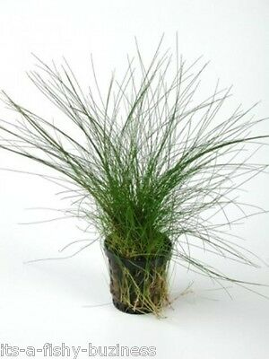 Hair Grass Eleocharis Vivipara Giant   Live Aquarium Plants java shrimp Moss