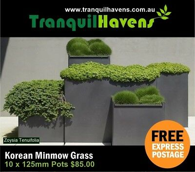 10 x 125mm Pots Korean No Mow Grass (Petting Grass) Zoysia Tenuifolia Free Post