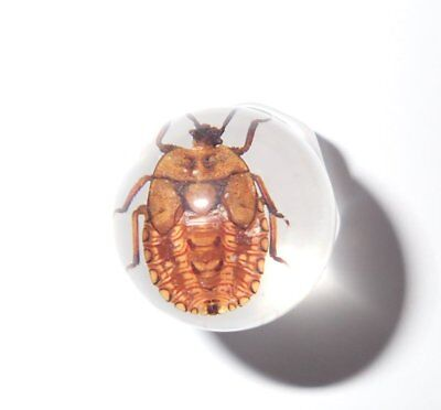 2 cm Insect Marble Sphere Brownish Shield Bug Nymph of Wrinkle Bug Clear