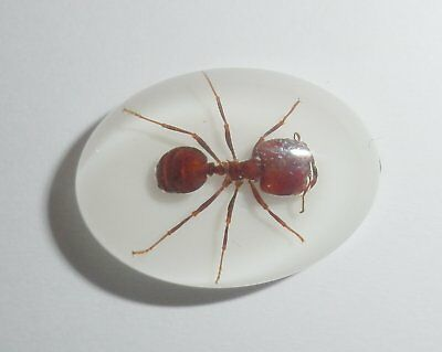 Insect Cabochon Big-head Ant Specimen Oval 18x25 mm white bottom 1 pc Lot