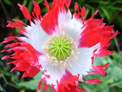 Papaver  'Danish flag'-Red/white frilly flowers- 30 fresh seeds