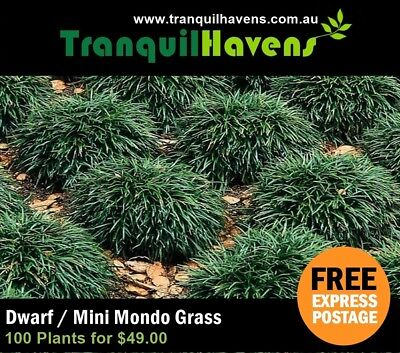 CHEAPEST PRICE ON EBAY - 100 Dwarf (Mini) Mondo Grass  FREE EXPRESS POSTAGE