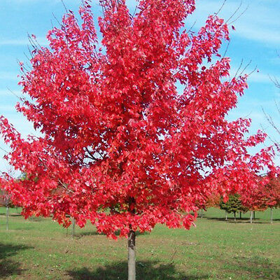 10/50/100PCS JAPANESE MAPLE TREE Acer Palmatum Red Maple Seeds Neutral Hot