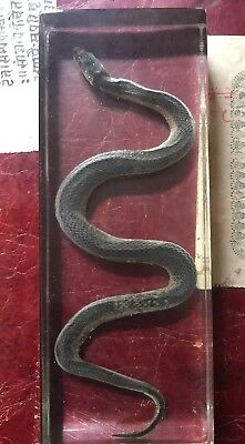 Snake Specimens In Clear Lucite Block Specimen Taxidermy Collection
