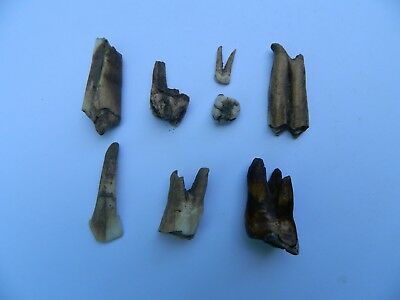 Lot Of 9 Various Animal Teeth From Late/middle Woodland Village Camp Fire - Osco