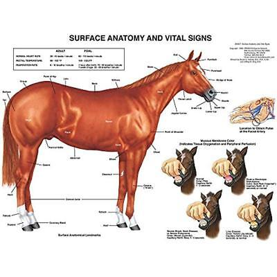 Charts & Posters Equine Surface Anatomy Horse