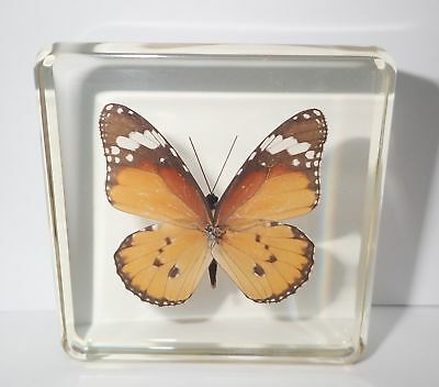 Plain Tiger African Monarch Butterfly N in Clear Block Education Specimen