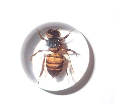 Insect Cabochon Honey Bee Apis mellifera Round 19 mm Clear 1 Piece Lot