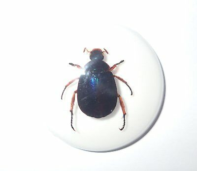Insect Cabochon Blue Scarab Beetle 35 mm Round on White 1 piece Lot