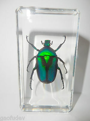Black Stripe Green Rose Chafer Beetle Rhomborrhina resplendens Learning Specimen