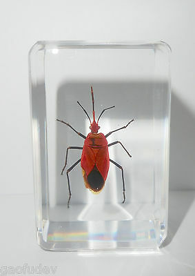 Red Bug Dindymus rubiginosus in clear small Block Education Insect Specimen