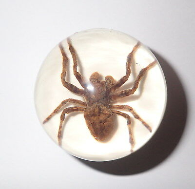 Ghost Spider Specimen 50 mm Sphere Ball Vechicle Shift Knob on White Bottom
