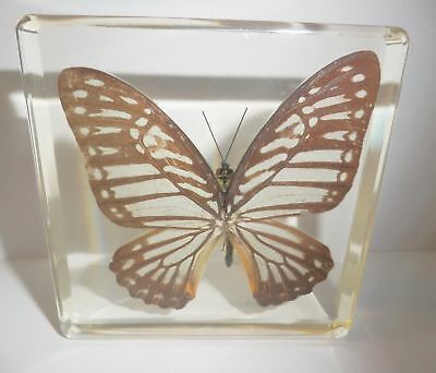 Common Mine Chilasa clytia Butterfly N clear Block Education Real Specimen