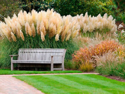 Ornamental Grass Seeds Multi Feather Pampas Fast Growing Perennial - 100 Seeds
