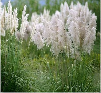 Ornamental Grass White Seeds Feather Pampas Fast Growing Perennial - 100 Seeds