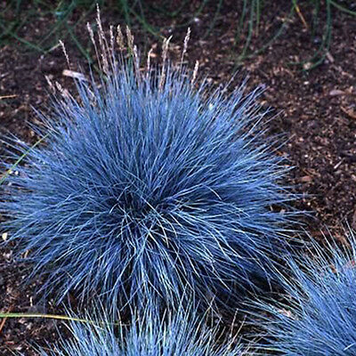 200pcs Ornamental Grass Seeds Blue Fescue Festuca Perennial Grass Garden D S5O9