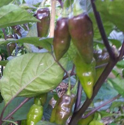 Yaki Brown Chilli - A Hot Chilli with Great Delicious Flavour - OZ Grown Seeds!!