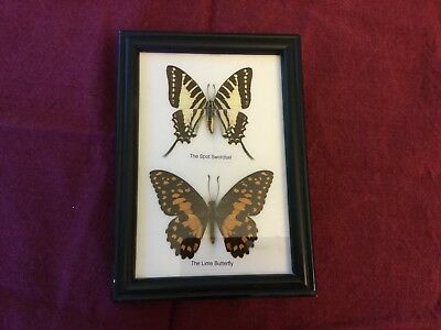 Real taxidermy spit swordtail and lime butterfly rare