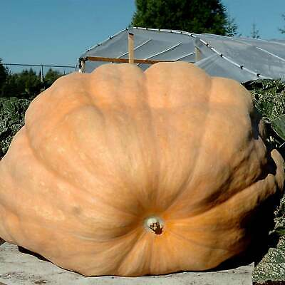 Pumpkin Garden Seeds - Dills Atlantic Giant - 10 Seed Packet - Non-Gmo, Heirloom
