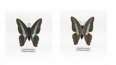 12 Laminated Butterfly Collection Set A in 110x110 mm Sheet Real Specimen