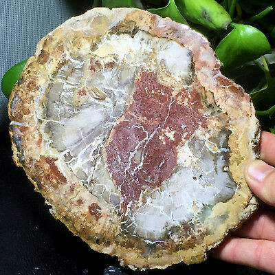 Top Natural Petrified Wood Fossil Crystal Polished Slice Madagascar 722g A182939