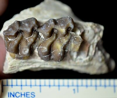 Mesohippus Upper Teeth, Three Toed Horse Fossil, Oligocene, South Dakota, H441