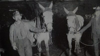 Photo of 2 PA Coal Miners with 2 Mules Underground    8.5 x 11 inches