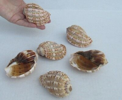 6 Piece Lot of 3 to 4 inch Harp shells - David harp seashell #34143