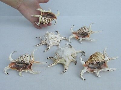 6 Piece Lot of 3 to 5 inch Rugosa shells - Spider conch #34132