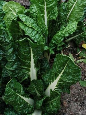 Silverbeet Fordhook Giant 50 vegetable seeds ORGANIC