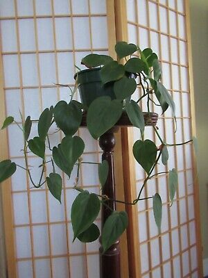 """Philodendron ~ Devils Ivy  ~ GREEN ~ """"clean air"""" indoor plant ~Heart Shape"""