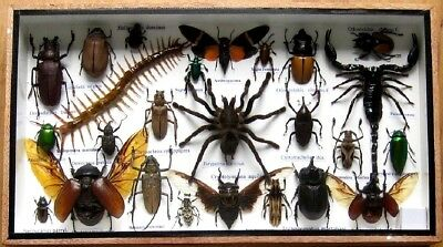 25 Real Beetle Boxed Rare Insect Display Bug Taxidermy Entomology Zoology