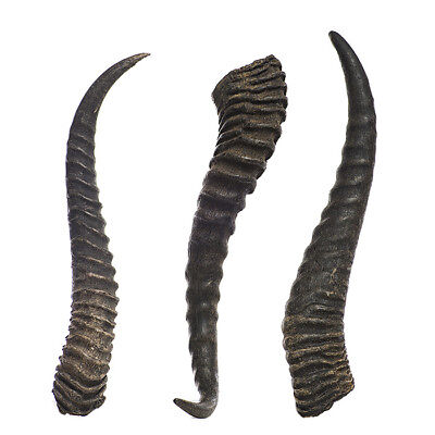 "10.5"" REAL Male Springbok horns, Taxidermy from Namibia South Africa"