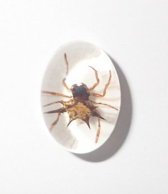 Insect Cabochon Spiny Spider Oval 12x18 mm on white bottom 1 piece Lot