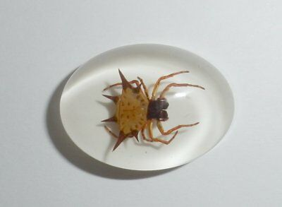 Insect Cabochon Spiny Spider Specimen Oval 18x25 mm on white 1 piece Lot