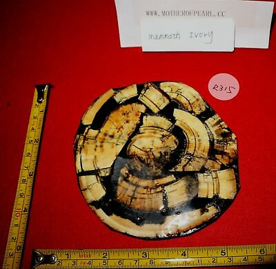 R315 Pleistocene FOSSIL bark TEETH KNIFE SCALE GROSS CUT DISC dye mammoth hair
