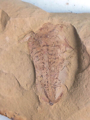 fossil Naraoia Longicaudata,very rare, TOP collection #H2
